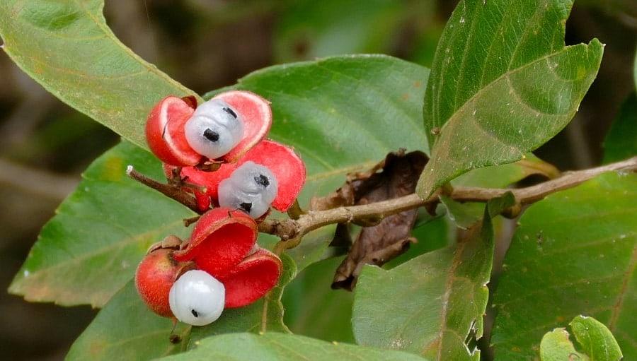 Guaraná, Paullinia cupana