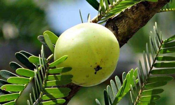 Amla (la grosella espinosa india)